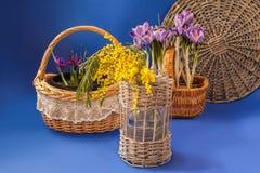 Krokusse, iridodictyum und Mimose auf einem blauen Hintergrund Lizenzfreies Stockfoto
