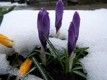 Krokusse unter Schnee stockfoto