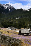 Krokussen in Chocholowska-vallei Stock Foto