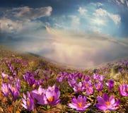 Krokussen in de bergen Stock Foto