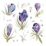 krokussen De bloemen van de de lentewaterverf op een witte achtergrond worden geïsoleerd die Stock Fotografie
