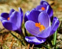 Krokussen in de lente Stock Foto