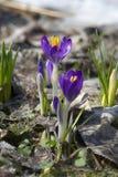Krokussen in de vroege lente royalty-vrije stock afbeelding