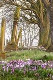 Krokussen in een Begraafplaats Stock Afbeeldingen
