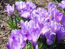 Krokussen het bloeien Stock Foto