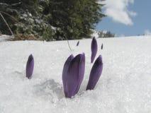 Krokussen op een sneeuw Stock Foto's
