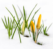 Krokussen in sneeuw Royalty-vrije Stock Foto