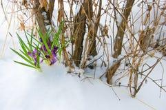 Krokussen in sneeuw Royalty-vrije Stock Fotografie