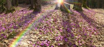 Krokussen van saffraan tedere bloemen royalty-vrije stock afbeeldingen