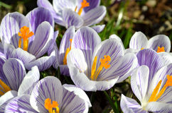 Krokussenbloemen in tuin op een zonnige dag Royalty-vrije Stock Afbeeldingen