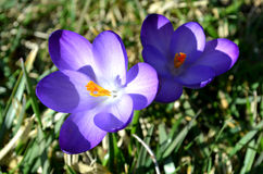 Krokussenbloemen in tuin op een zonnige dag Stock Foto's