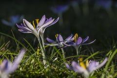 Krokussilhouet open voor zonlicht Royalty-vrije Stock Foto