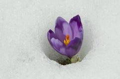 krokusviolet Fotografering för Bildbyråer
