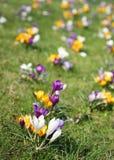 krokusów kwiaty Zdjęcie Stock