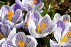 Krokusy kwitną w ogródzie na słonecznym dniu Obrazy Royalty Free