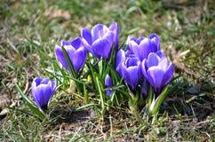 Krokusy kwitną w ogródzie na słonecznym dniu Zdjęcie Royalty Free