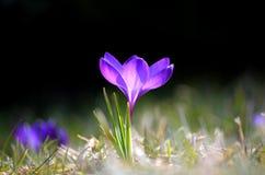 Krokusy kwitną w ogródzie na słonecznym dniu Obraz Royalty Free