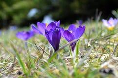 Krokusy kwitną w ogródzie na słonecznym dniu Fotografia Royalty Free