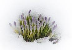 Krokusy w śniegu Obraz Stock