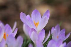 Krokuszeichen des Frühlinges Stockfotografie