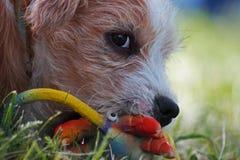 Kromfohländer puppy Stock Image