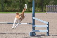 Kromfohrlander jumps over an agility hurdle Royalty Free Stock Photo