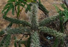 Kromme-gefactureerde goed beschermde thrasher` s eieren royalty-vrije stock fotografie