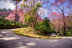 Kromme van Roze Kersenbloesem (Wilde Himalayan-kers) in Khun Cha stock foto's