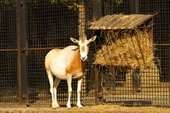 Kromzwaard-gehoornd oryx Stock Foto