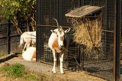 Kromzwaard-gehoornd oryx Stock Foto's