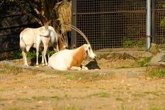 Kromzwaard-gehoornd oryx Royalty-vrije Stock Fotografie
