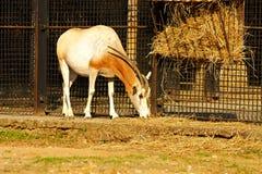 Kromzwaard-gehoornd oryx Stock Fotografie