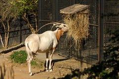 Kromzwaard-gehoornd oryx Royalty-vrije Stock Foto's