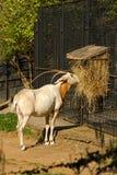 Kromzwaard-gehoornd oryx Stock Afbeeldingen