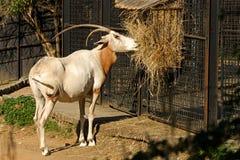 Kromzwaard-gehoornd oryx Royalty-vrije Stock Foto