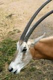 Kromzwaard-gehoornde (dichte) Oryx Stock Fotografie