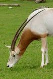 Kromzwaard Gehoornde Oryx Royalty-vrije Stock Afbeelding