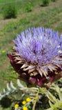Kronärtskocka i blom Arkivfoto