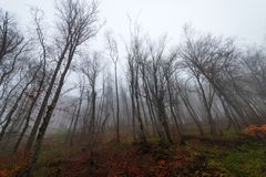 Krona av kala träd i dimma arkivbilder