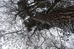 Krona av träd i vinterskogen arkivbild