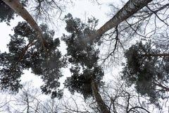 Krona av träd i vinterskogen royaltyfria foton