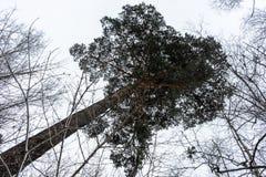 Krona av träd i vinterskogen arkivbilder