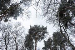 Krona av träd i vinterskogen royaltyfria bilder