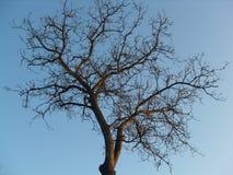 Krona av trädet utan sidor Royaltyfri Bild