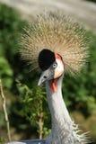 Krona Cranebird Royaltyfri Foto
