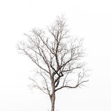 Krona för lövfällande träd på vit bakgrund Royaltyfri Bild