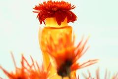 kronablommagerbera Arkivfoton