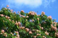 Kronan av ett träd med frodig grön lövverk och fluffiga rosa och vita blommor mot en blå himmel på en solig sommardag arkivbild