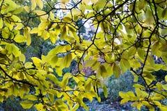 Kronan av magnoliaträdet täcker parkerasikten Arkivfoto
