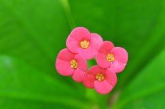 Kronan av taggar blommar (Euphorbiamillien Desmoul) Arkivfoto